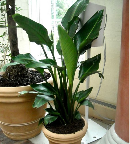 10 famous large and small indoor plants the self sufficient living - Big leaf indoor plants ...